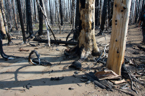 Curling tree bark two years after wildfire