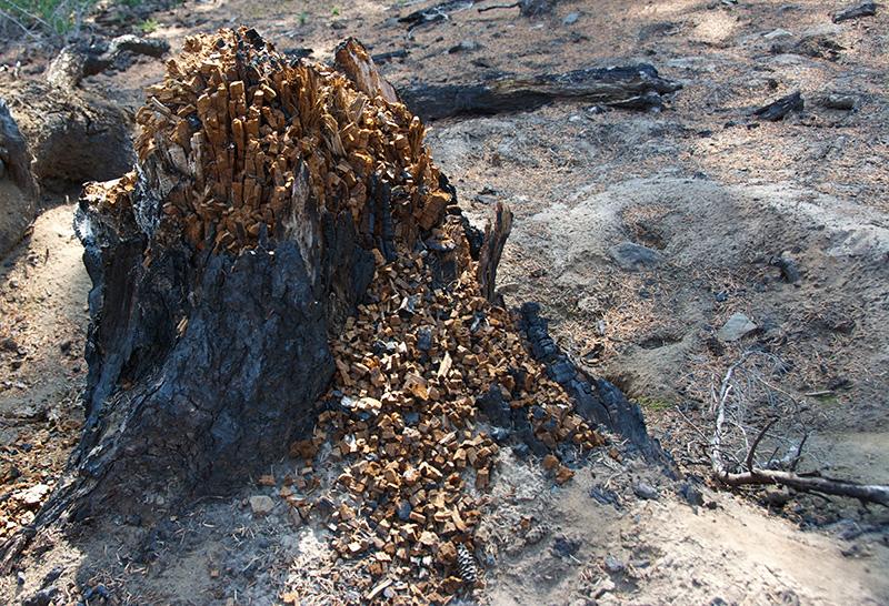 Decomposing Tree, 3 Sisters Wilderness